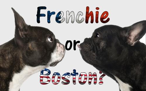 Dogaholic Frenchie or Boston