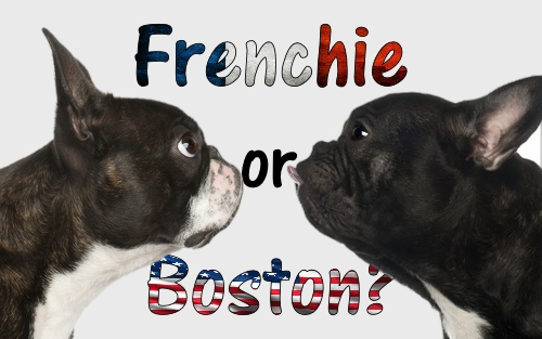 Dogaholic Frenchie or Boston