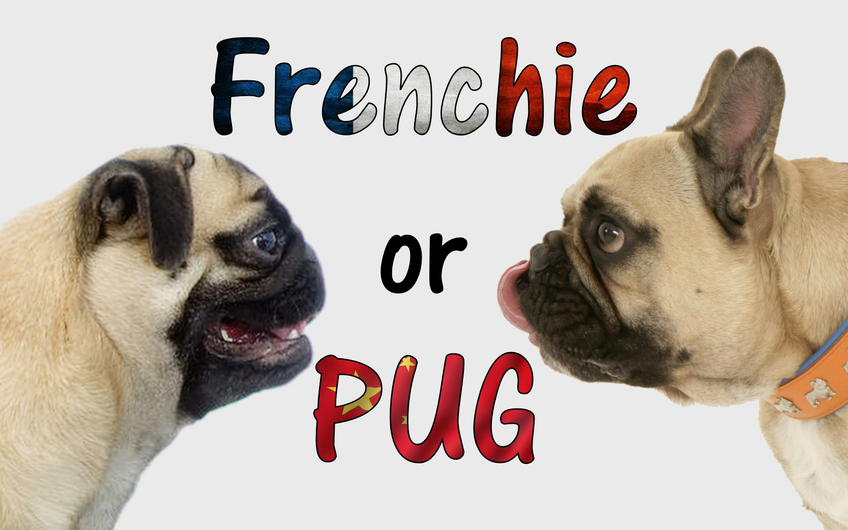 French Bulldog Or Pug How To Tell The Difference Dogaholic